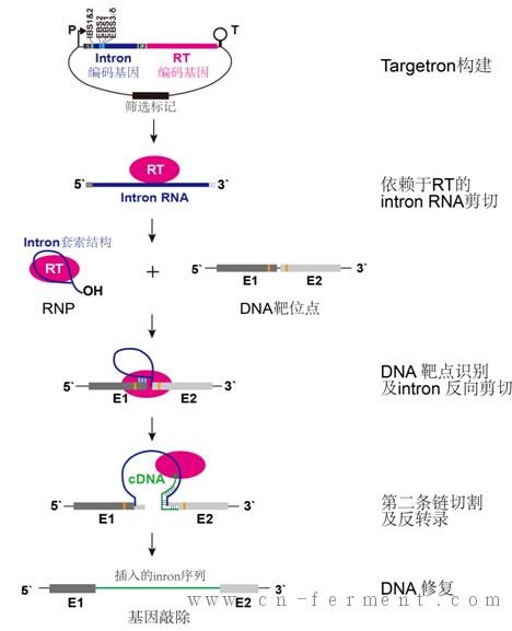 包括用于基因敲除的同源重组及二类内含子打靶方法