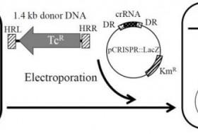 改进CRISPRCas9技术提高大片段在大肠杆菌基因组中整合效率