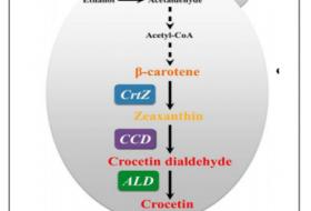 天大肖文海实验室:酿酒酵母异源合成番红花酸