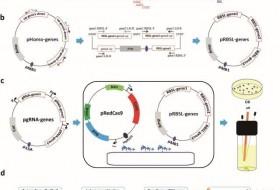 天津工业生物所在染色体多基因同时编辑技术方面取得新进展
