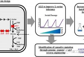 丹麦理工大学利用适应性进化的方法提高大肠杆菌生产L-丝氨酸的能力