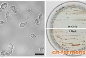 美国研究人员首次发现红酵母可作为核污染环境清除剂