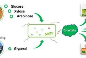 青岛能源所研究人员实现100%光学纯D-乳酸的生物合成
