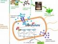 香兰素诱导工程菌产解毒酶系转化香兰素为儿茶酚