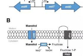 谷氨酸棒状杆菌利用甘露醇生产赖氨酸