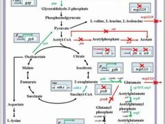 谷棒发酵高产L-鸟氨酸:过表达N-乙酰谷氨酸合成酶和调控中心代谢