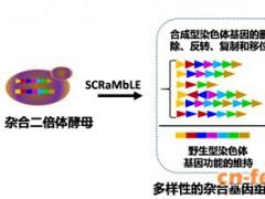 天津大学元英进课题组在杂合二倍体与跨物种基因组重排技术上取得重要进展