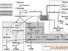 清华大学陈国强教授团队:盐单胞菌中NADH/NAD+比例调控增强聚羟基脂肪酸酯产量