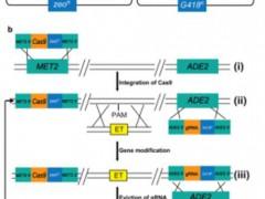 微生物所温廷益研究组在酵母中开发了CRISPR-Cas9介导的多重基因组编辑新技术