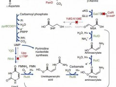 条条大路通β丙氨酸:大肠杆菌至少有3种办法弥补天冬氨酸脱羧酶缺陷
