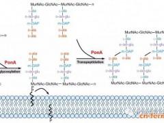 天津工生所:肽聚糖合成基因突变提高谷棒电转效率
