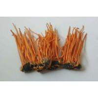 求购蛹虫草菌粉发酵技术和菌种