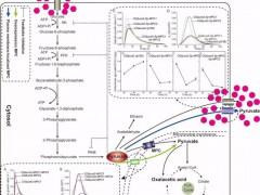 江南大学国工生物系统与生物加工工程研究室团队报道运用载体工程策略强化光滑球拟酵母生产丙酮酸
