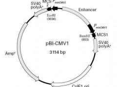 毕赤酵母表达系统在医药领域的应用