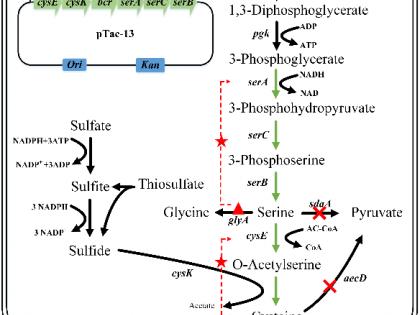 代谢工程改造谷氨酸棒杆菌生产L-半胱氨酸方面取得进展