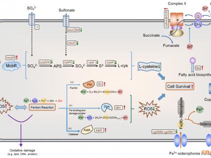 天津工生所揭示谷氨酸棒杆菌抵御低酸胁迫的生理机制