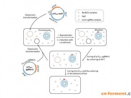 北理工在原核生物基因组编辑技术的优化及应用方面取得重要研究成果