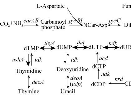 代谢工程方法改造大肠杆菌生产胸苷
