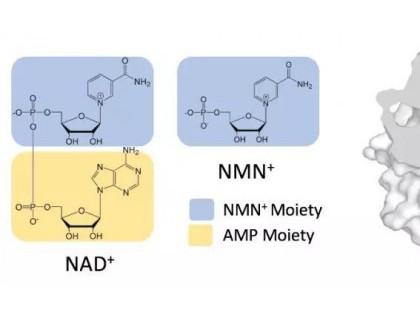 李晗团队构建人工辅酶因子 实现精确控制生物体内电子传递