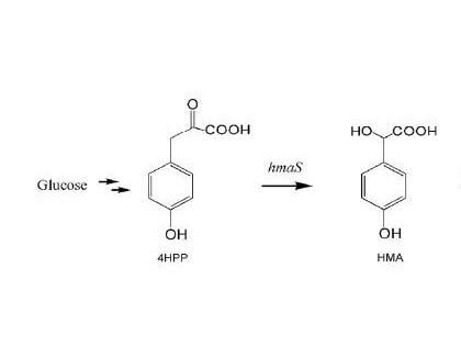 3,4-二羟基扁桃酸在大肠杆菌中的生物合成