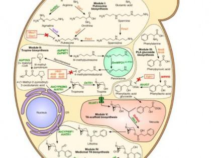 Nature:东莨菪碱在酵母中的生物合成