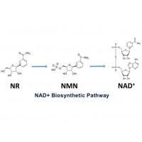 大量供应烟酰胺核糖(NR)粗品 60-70%含量