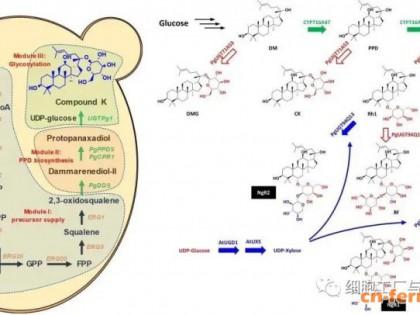 人参和三七皂苷生物合成研究新进展!