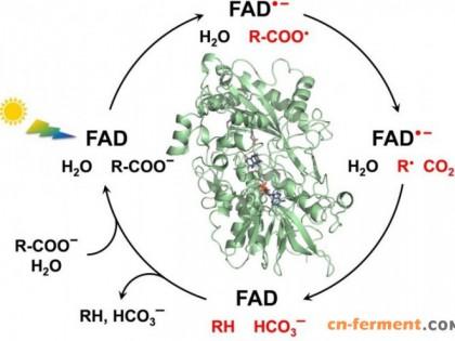 科学家解密一种关键光酶的机制 可用于绿色化学与生物燃料
